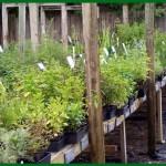 Maggie's Herb Farm - St Augustine